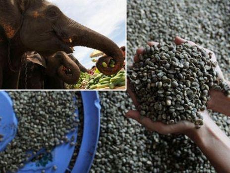 goi Kopy Luwak cacca elefante