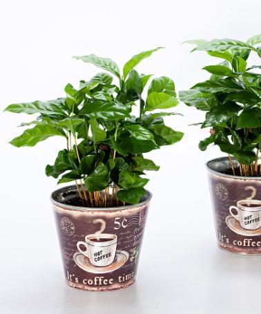 BOTANICA PRATICA - Come coltivare una pianta del caffè a casa propria - Comun...