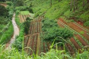 Terraced_Coffee_Plants_in_Vietnam