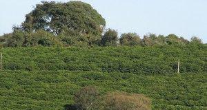 coltivazione caffè piantagione verde