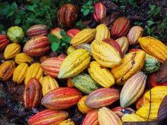 cacao cabosse coltivazione