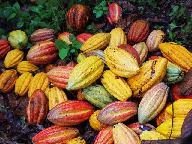 Cocoa Hunter Fave di cacao