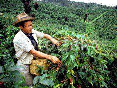 raccolto valore Colombia produzione colombiana Un raccoglitore di caffè in una piantagione colombiana