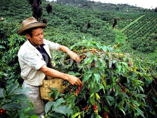 Colombia produzione colombiana Un raccoglitore di caffè in una piantagione colombiana
