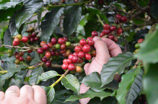 tenerife ramo piantagione caffè fao