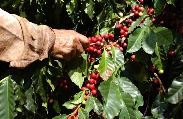 caffè coltivazione alleanza