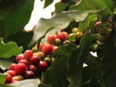 caffè in casa bertrand fungo