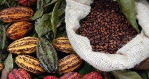 cacao opec