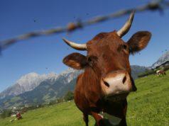 mucche marroni