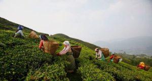 i lavoratori del tè