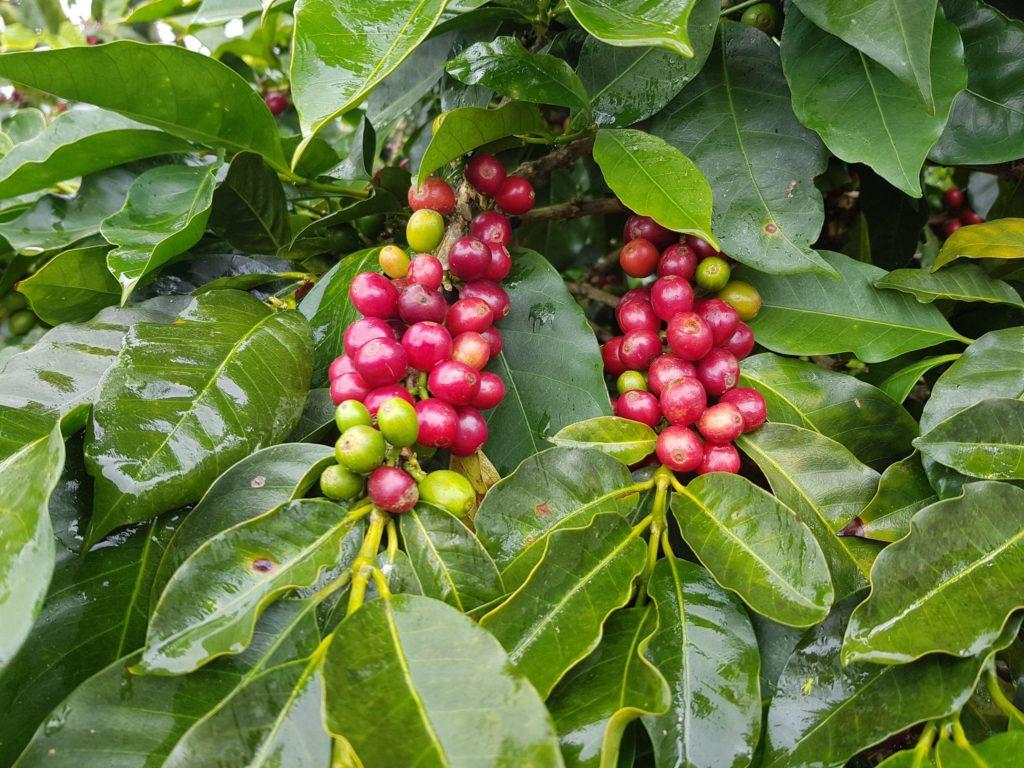qualità di caffè