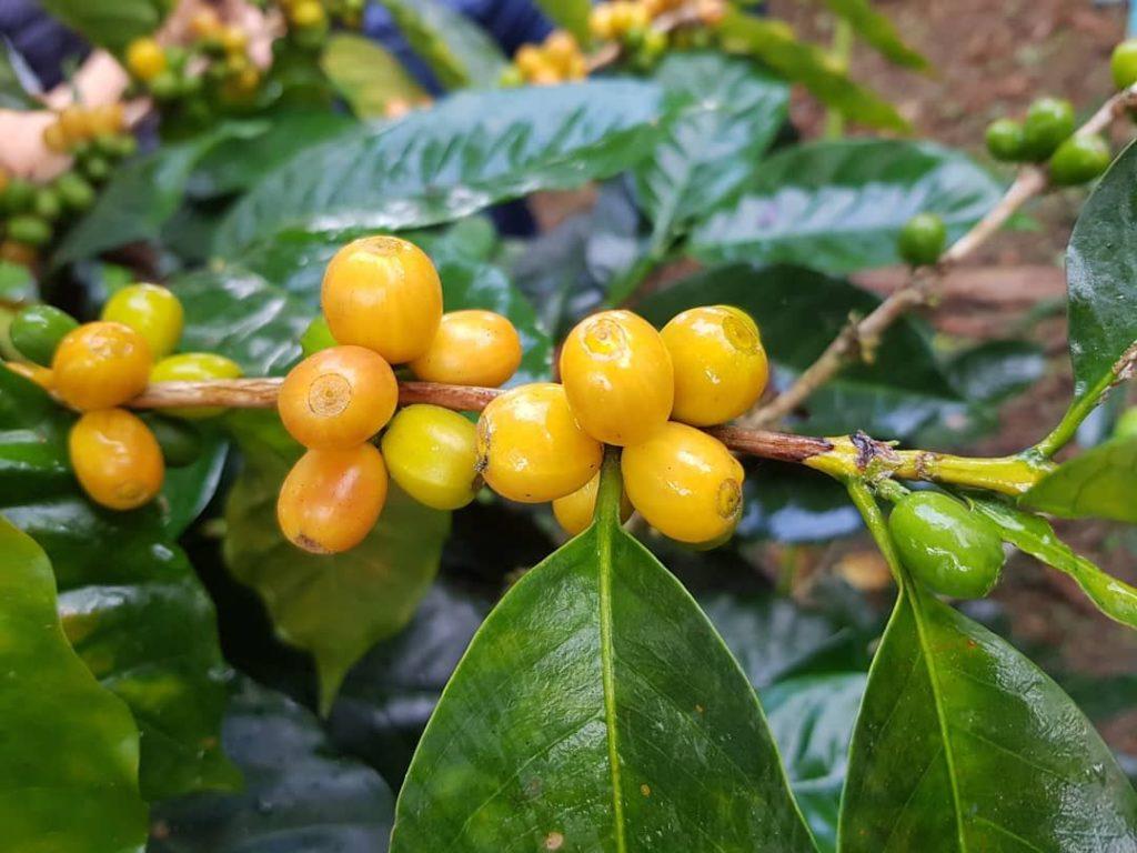 chicchi di caffè gialli giallo