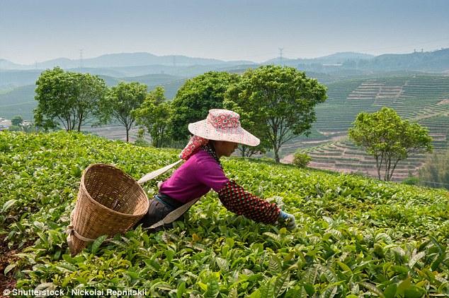 lavoratori di tè