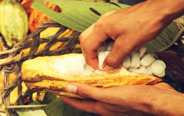 Ecuador cioccolato Le cabosse del cacao Nacional