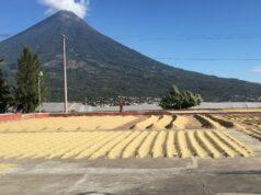 Piantagione in Honduras