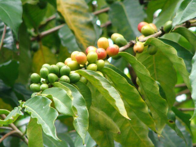 metodo crisi caffè coffea arabica varietà
