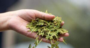 tè non fermentati verde
