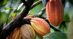 brasile cacao mapa umipi