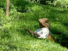 l'india e le coltivazioni di te